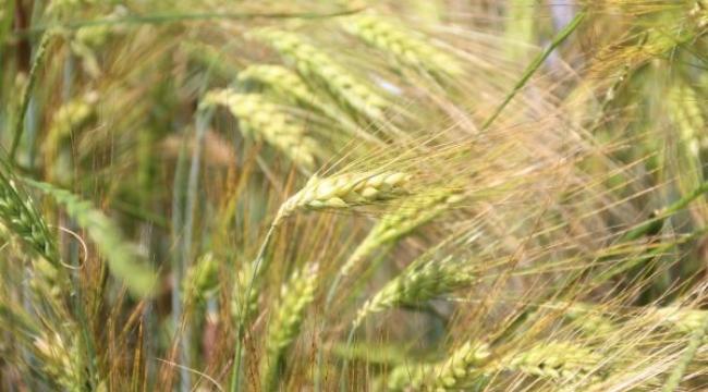 Tohum desteği, çiftçilerin yüzünü güldürüyor