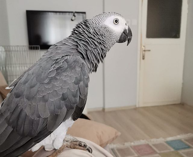Lokman Papağan kaçtı, Güngören ayağa kalktı,ARANIYOR..